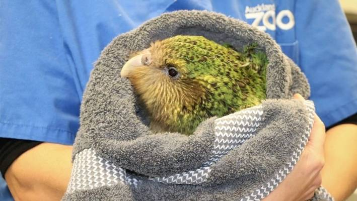 Seventh kākāpō chick dies from respiratory disease plaguing