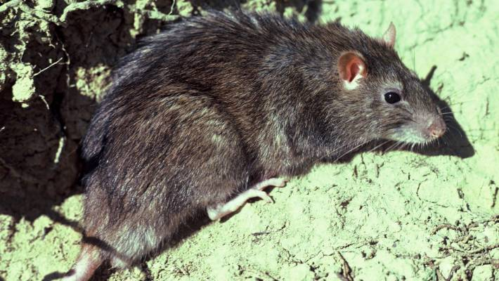 Rat 'invasion' in Auckland as pest control experts report