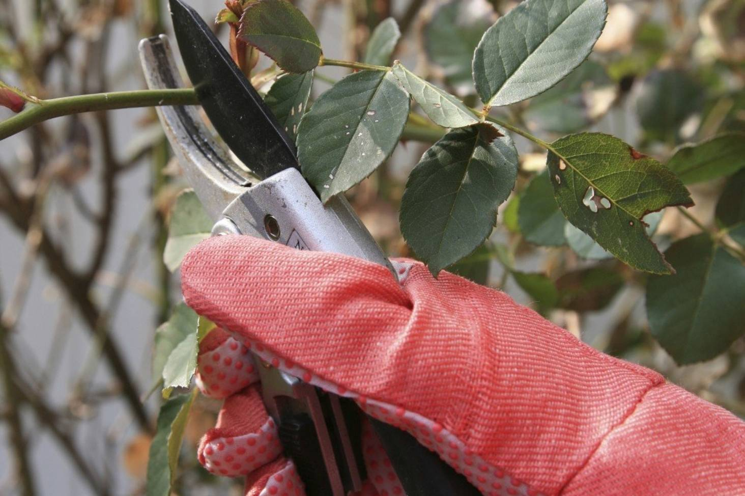 Winter rose care: planting, pruning and spraying | Stuff co nz