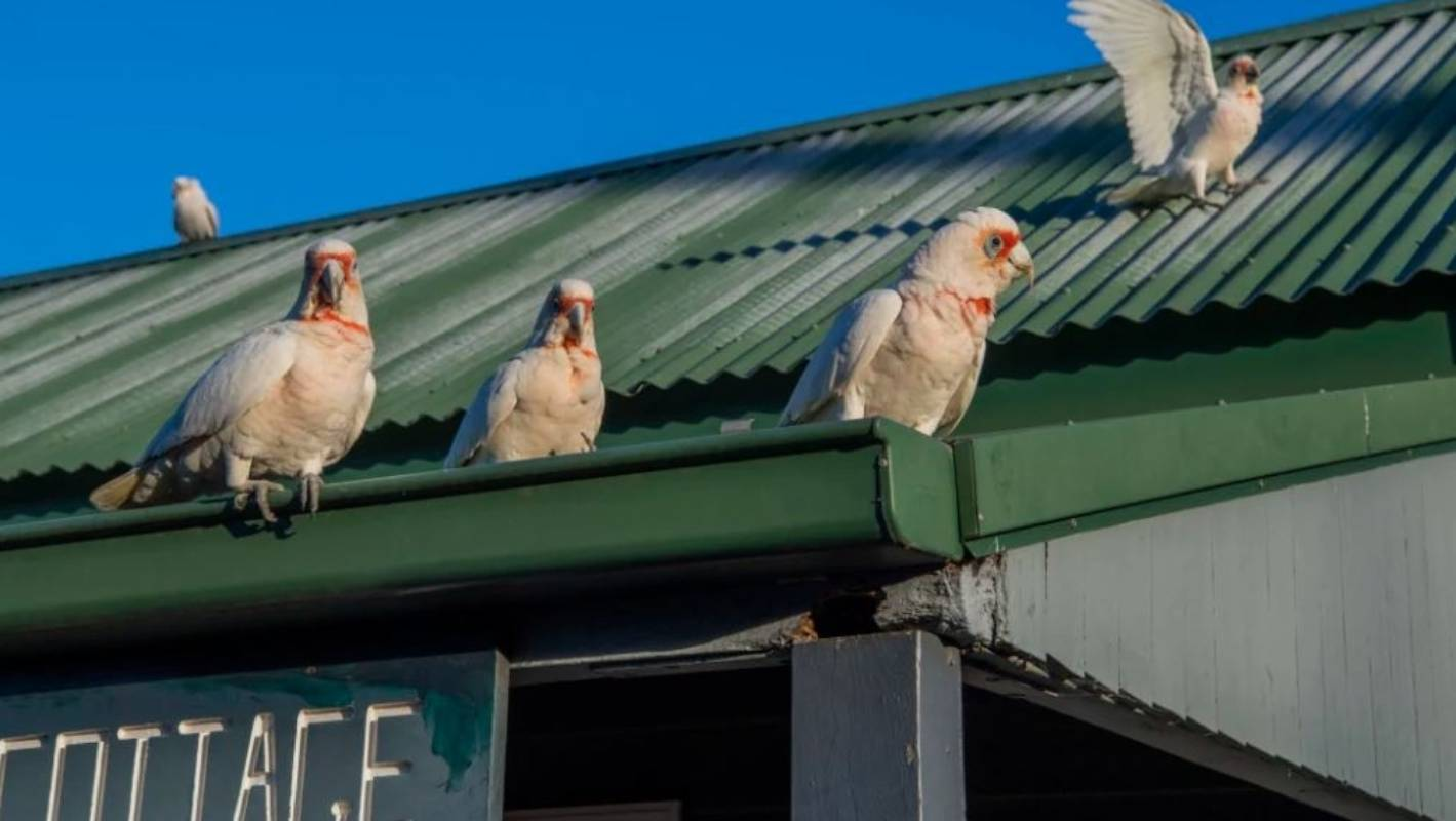 Cheeky Australian birds take over town, hog basketball hoops