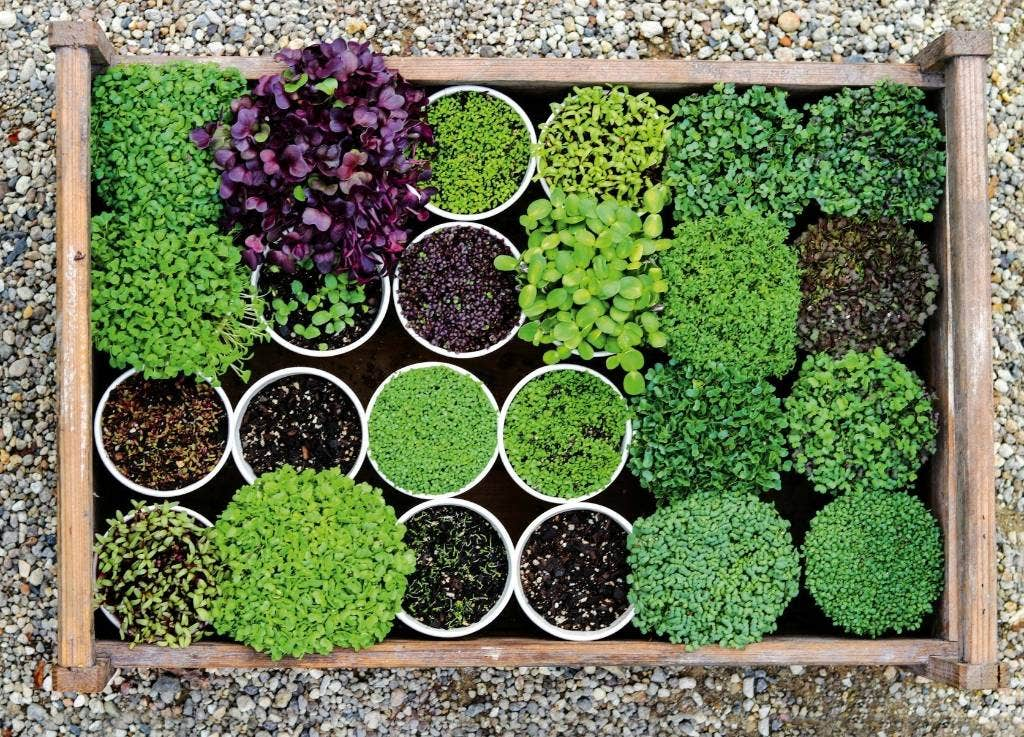Microgreens Which Seeds Are Safe To Grow And Eat Stuff Co Nz
