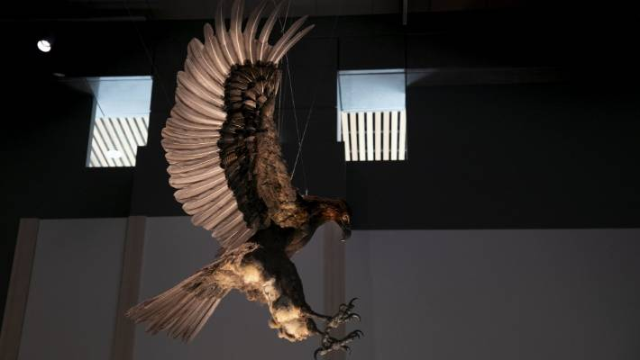 The finished Haast's eagle looms over the new Te Taiao exhibition.