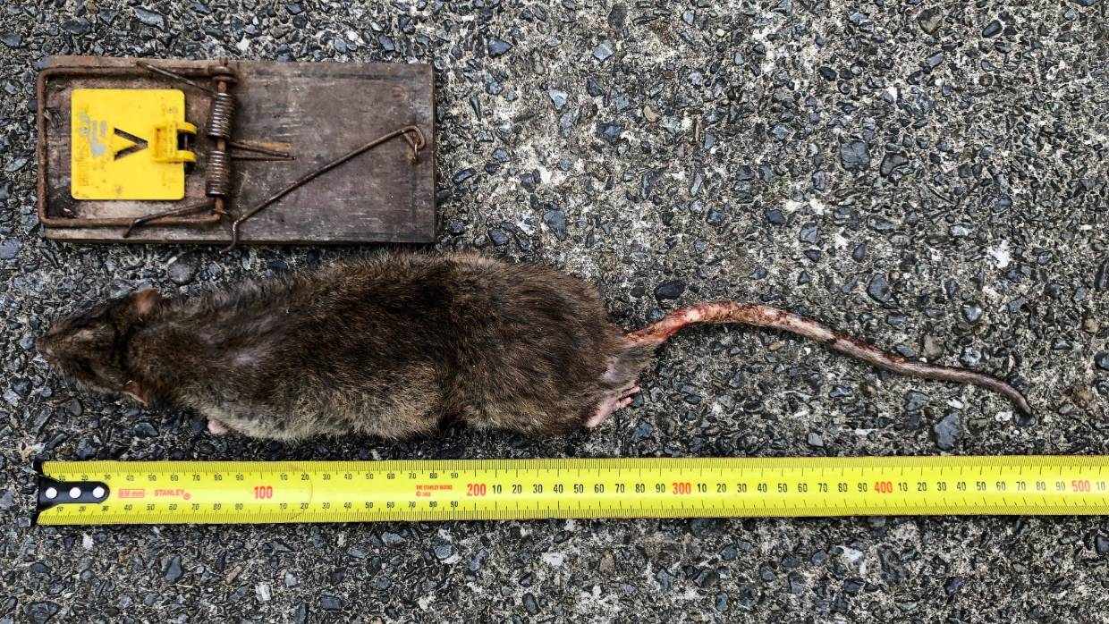 Monster rats' in Wellington the size of small possums