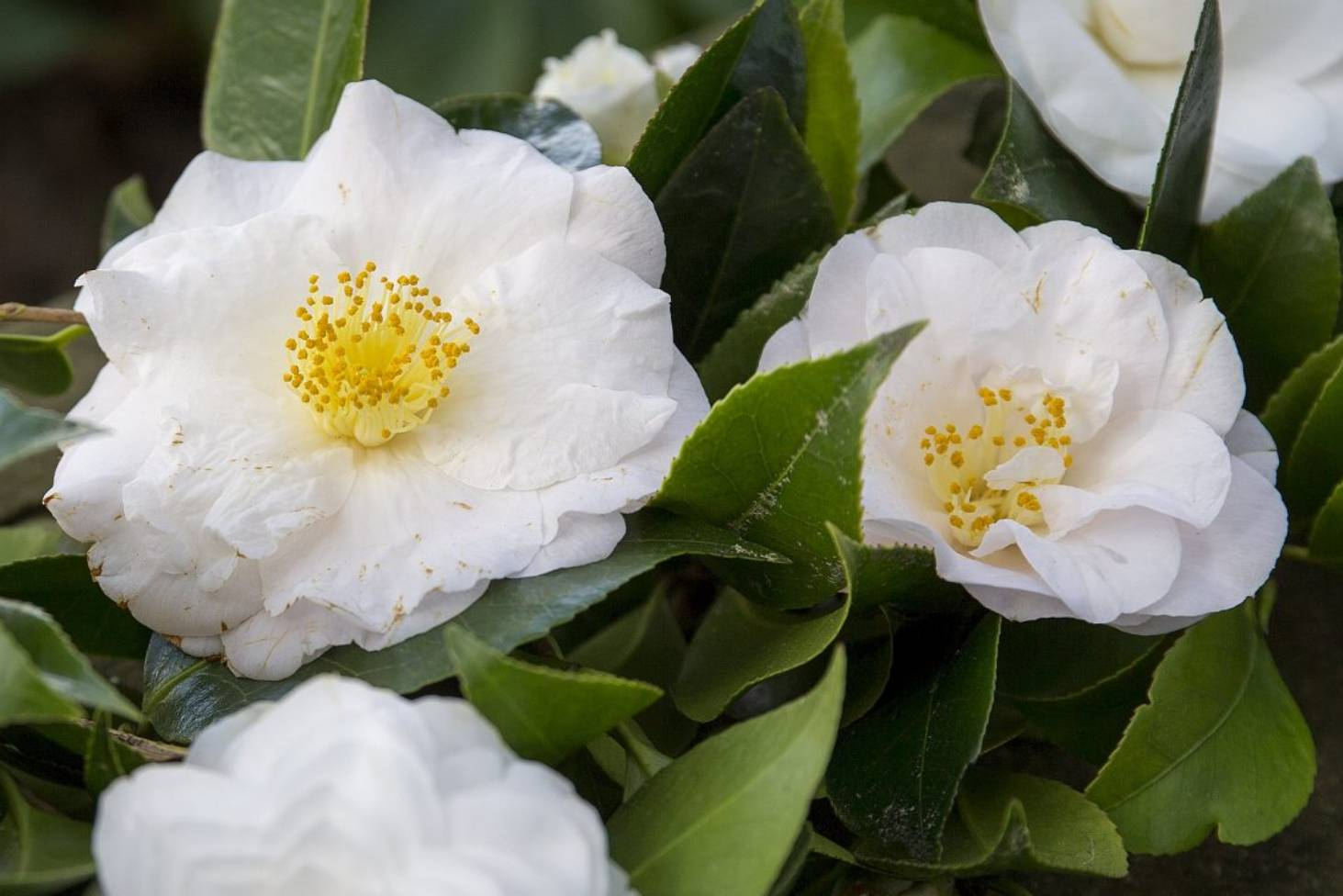 How to grow camellias | Stuff co nz