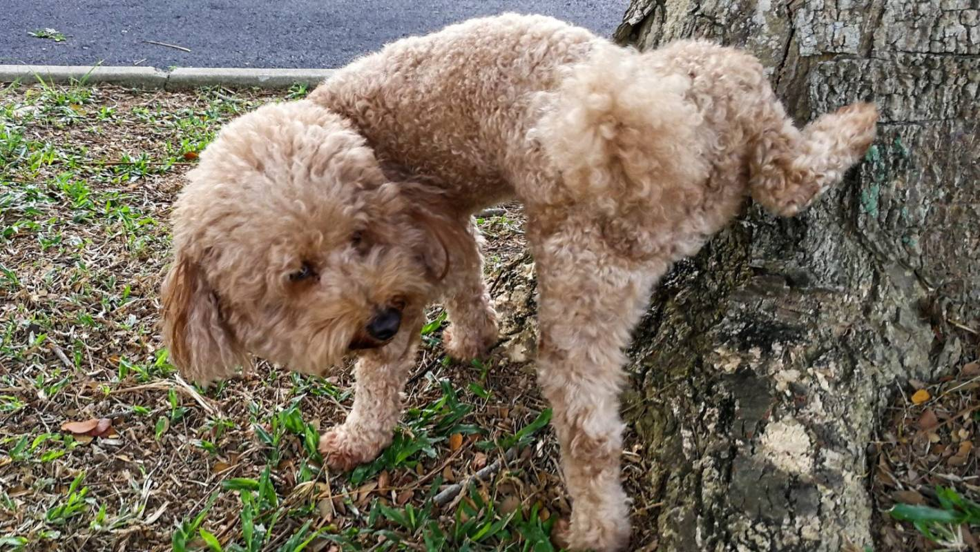 Auckland tenants must pay landlord for 'intentional' damage caused by urinating poodles