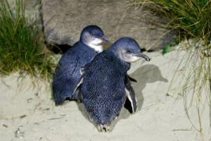 A little blue penguin rescued from Wellington Central on Saturday night returned later with a companion. (File photo)