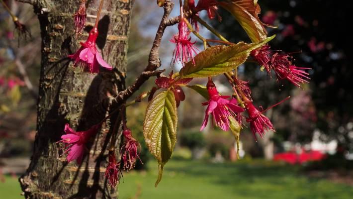 Taiwan cherry tree given eradication status in Nelson-Tasman