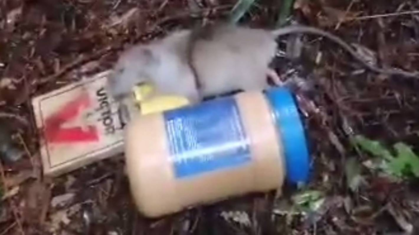 I thought it was a possum': Rat the size of large peanut