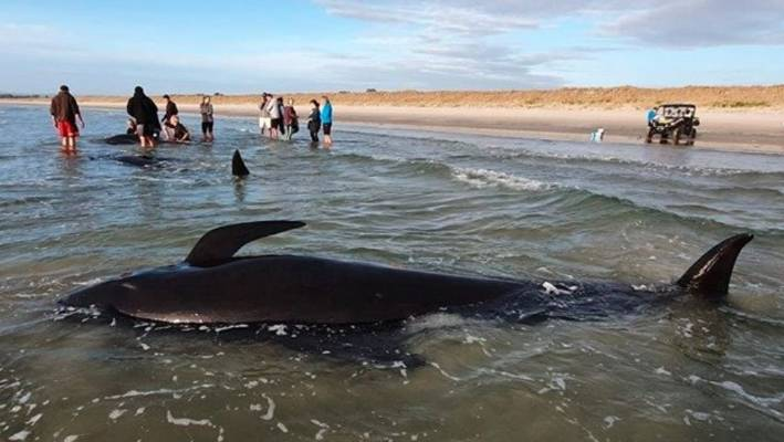 All whales stranded along the Ruakākā Beach have died.