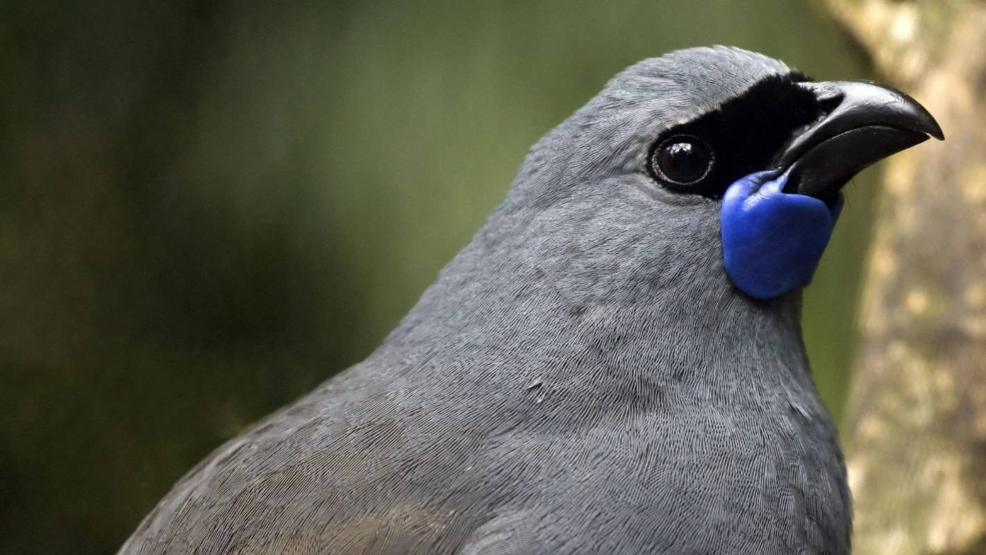 Kōkako singing after 1080 court case