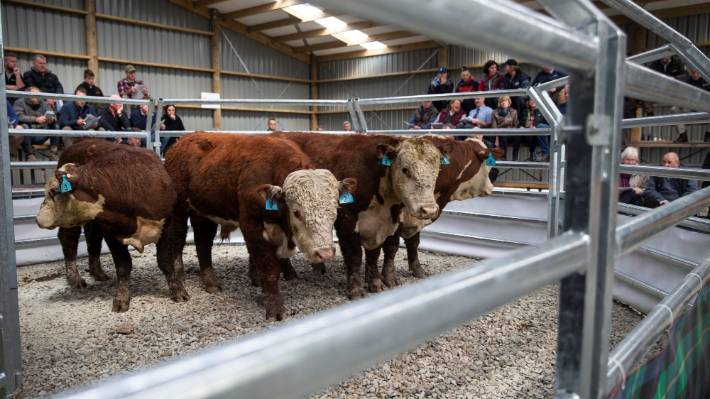 South Canterbury Hereford Cattle Breeders First To Sell A