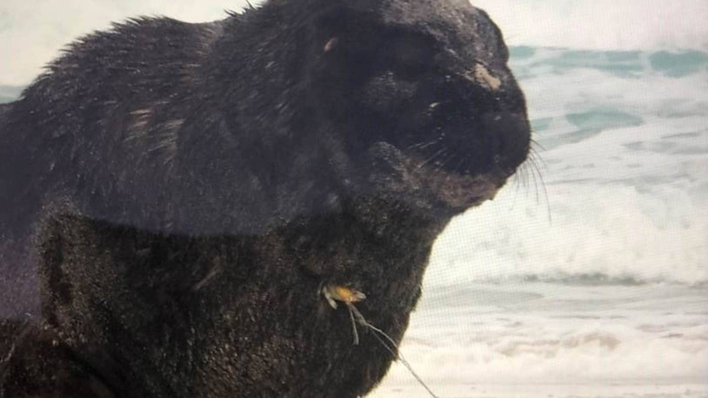 Search for injured sea lion with fish hook piercing chest
