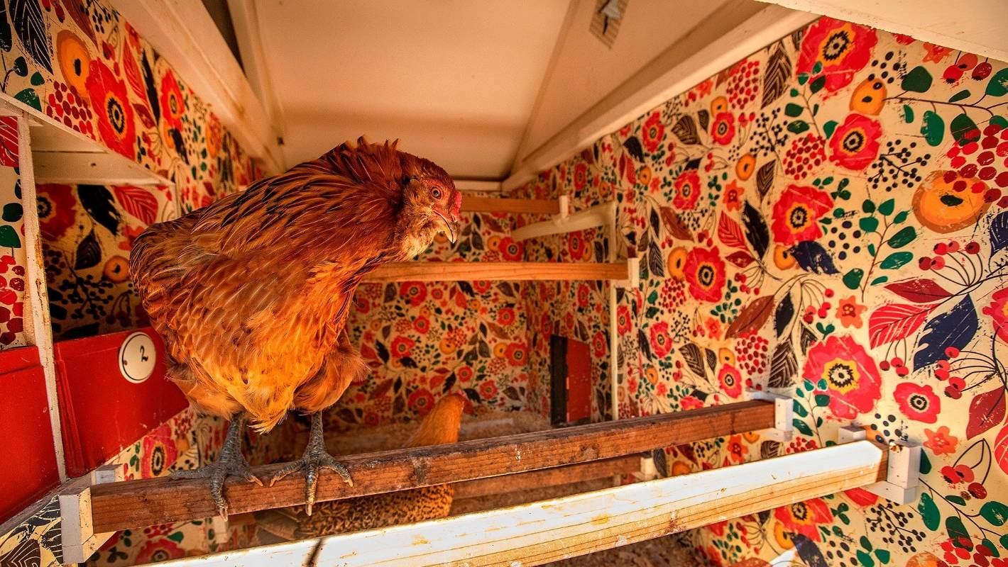 Designer chicken coops: From chandeliers to AC, how some owners pamper their pets