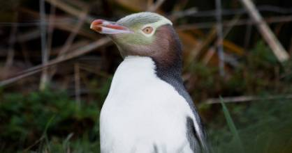 This year's Bird of the Year champion the Hoiho is just one of 145 seabird species in New Zealand affected by fishing ...