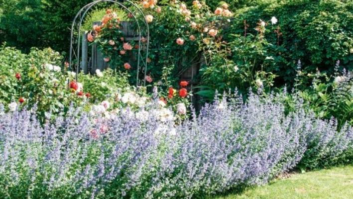 """Beds of catnip and salvia bow after heavy rain: """"But then the sun comes up and they stand up again,"""" says Viv."""