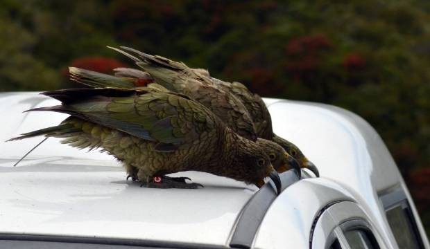 Curious kea at risk in 1080 operations ahead of mega mast rodent buffet
