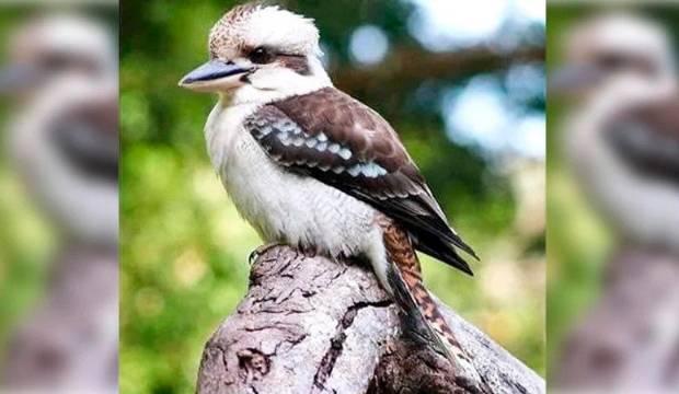 'Kevin' the kookaburra killed in shocking attack at Australian tavern