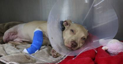 Champ after getting his leg amputated.