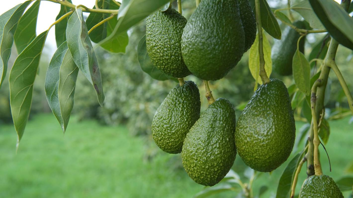 Rising demand for avocados could threaten water levels in Aupōuri, Northland - Stuff.co.nz