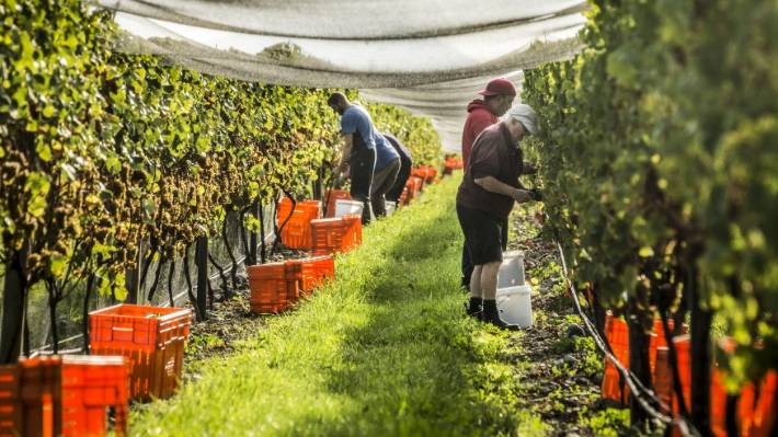 Vineyards depend on migrant labour during the industry's peak picking and pruning periods.