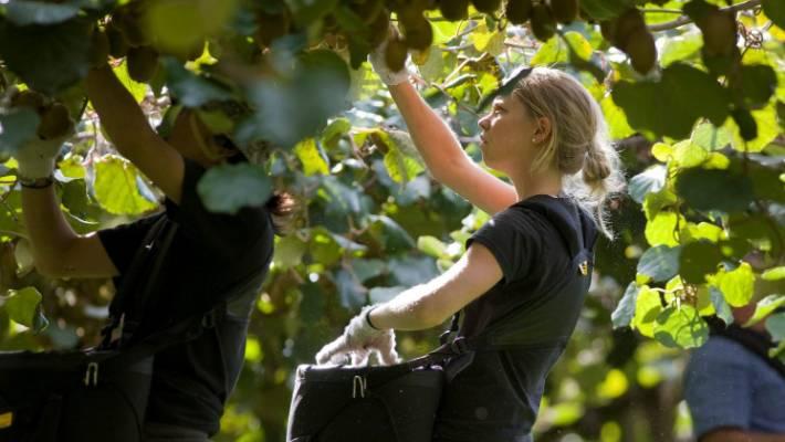 The kiwifruit industry needs 7000 more seasonal employees by 2027.