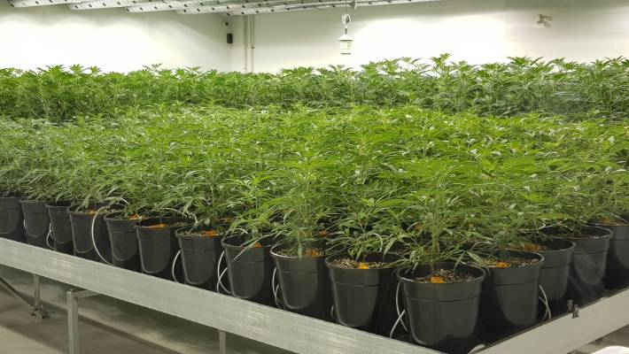 If New Zealand is to succeed where Canada has failed in legalising cannabis, it needs to create a more consumer-friendly regulatory regime, says Clement.