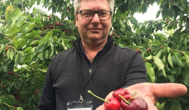 Rain-damage and cold weather hits Central Otago cherry stocks