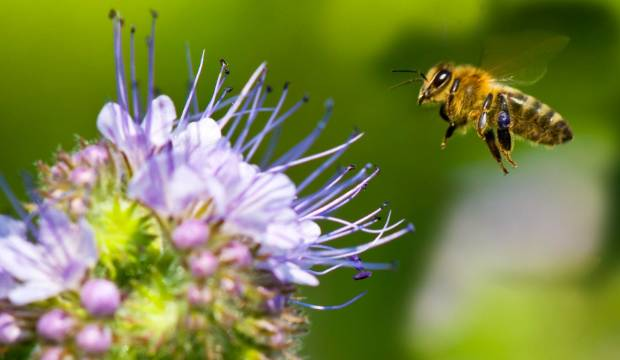 Honey bees need better nutrition and NZ scientists think they can help