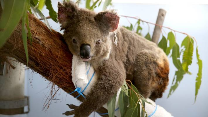 Female koala Anwen recovers in Port Macquarie Koala Hospital from burns suffered in bushfires in November.