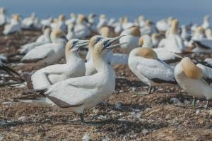 Around 20,000 gannets begin gathering at Cape Kidnappers each spring.