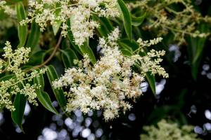 Privet is not considered to be a strong allergen by scientists.