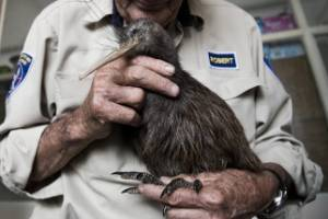 Robert Webb from Northland Native Bird recovery Centre with a kiwi that got hit by a car while searching for water.