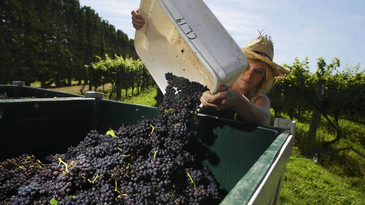 Dry weather bodes well for Wairarapa wineries after previous frost-bitten harvest