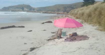 A sea lion lies seeks shade and temporarily halts a picnic for a Dunedin family.