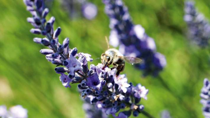 Lavender Growing Tips From The Experts Stuff Co Nz