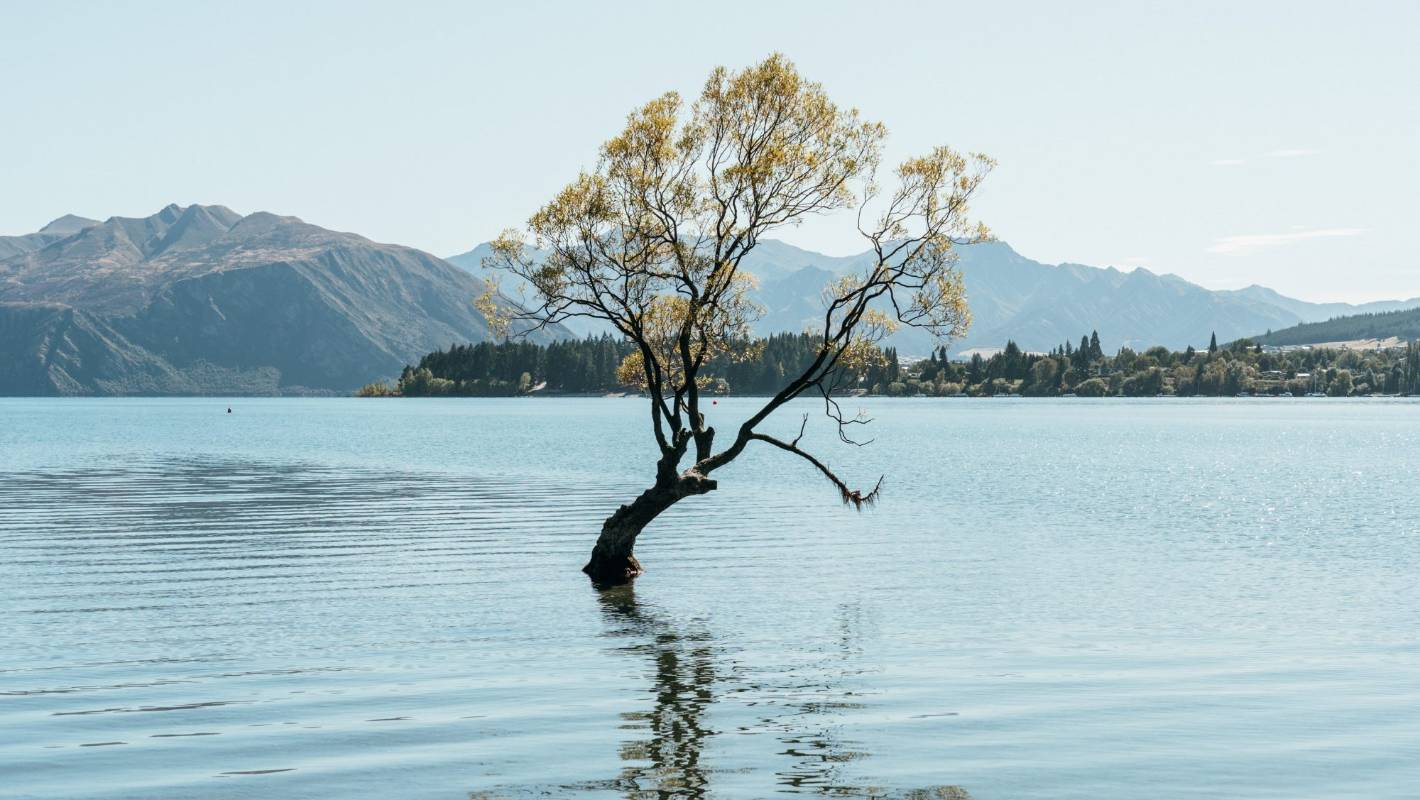 Outrage after picturesque Wanaka tree attacked with saw | Stuff.co.nz