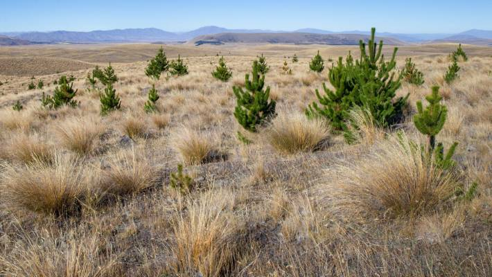 Wilding pines near Tekapo. (File pic)