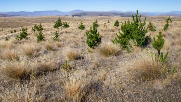 Wilding pines near Tekapo. (File pic)