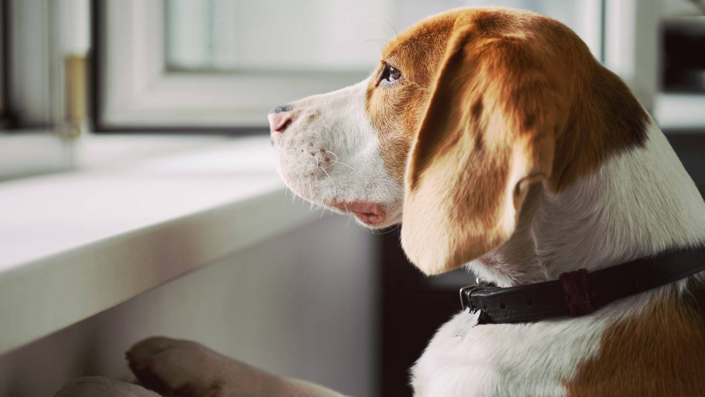 Experts warn severe separation anxiety in dogs | Stuff.co.nz
