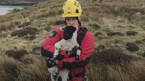 Lamb rescued from edge of cliff