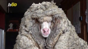 Baarack, a wild sheep with over 30kg of wool, gets a haircut