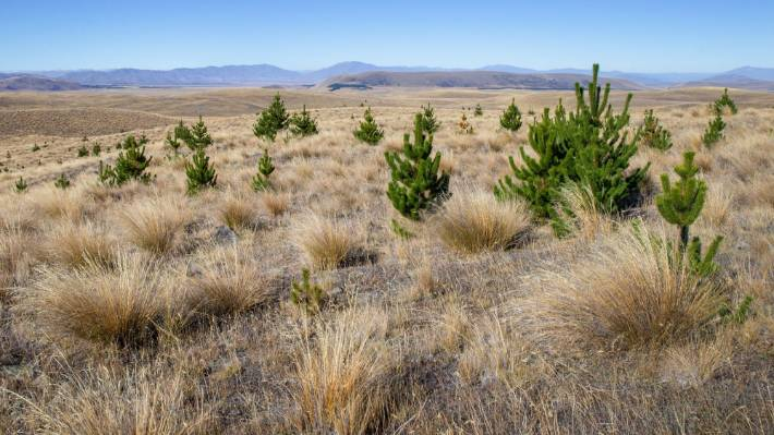 A wilding pine infestation near Tekapo. (File pic)