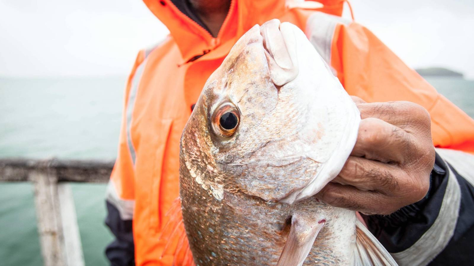 Restored west coast snapper fishery faces commercial hook