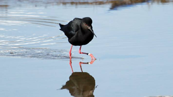 Kakī numbers are benefiting from an extensive trapping programme in the Mackenzie Basin.