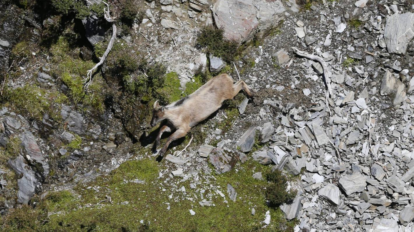 Tahr numbers 'still too high', DOC says