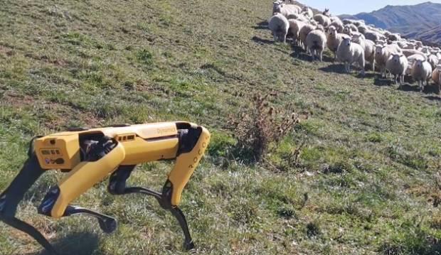 Robot dog Spot herds sheep on NZ farm