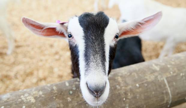 Goatie the goat died with a stomach full of rope, plastic and parasites