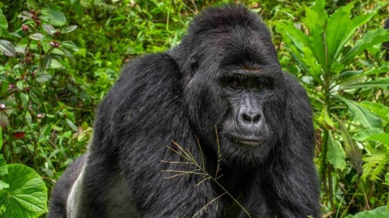 Chimpanzees seen killing and eating gorillas for the first time 'due to climate change'