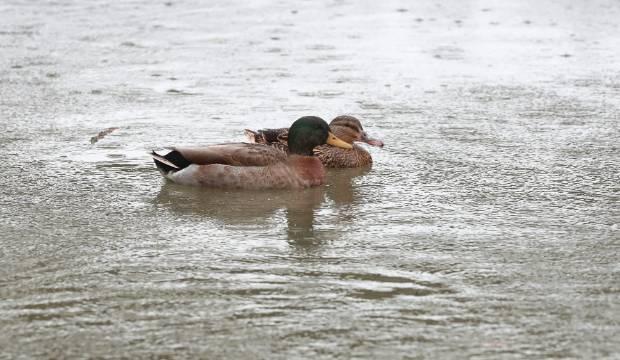 Eight mallard ducks discovered poisoned in West Auckland park