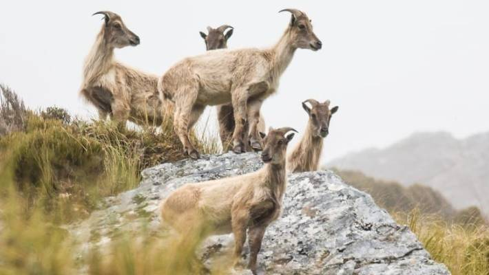 The Department of Conservation is under pressure from hunting groups over tahr numbers.